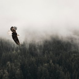 Eagle by Seraphim Chase